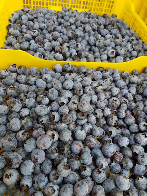 blueberry loose